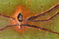 Spider looking scar on an Aspen tree, Vaudreuil, Quebec