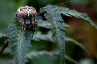 Spider on a fern in my backyard, Les Cedres.