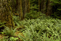 Old growth forest,MacMillan Provincial Park,Vancouver Island