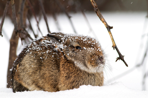 Cottontail rabbit, Les Cedres, Quebec, Canada