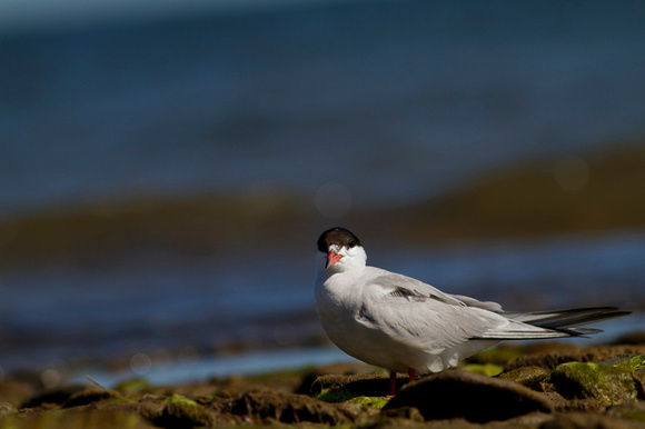 Common Tern, Bouctouche, NB