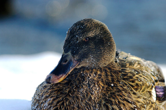 Female Mallard Duck, Beauharnois, Quebec
