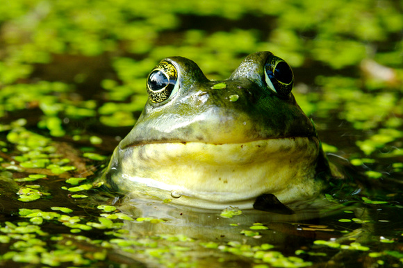 Green Frog, Ile-Perrot, Quebec