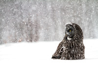 Great Gray Owl, Canada